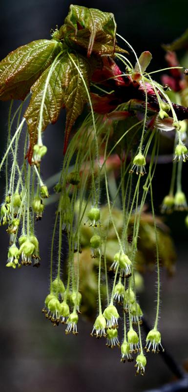 Fleurs d'érable