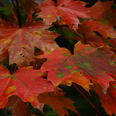 Érable & Chalumeaux feuilles d'automne