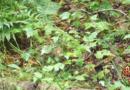 vidéo broutage cerf de Virginie