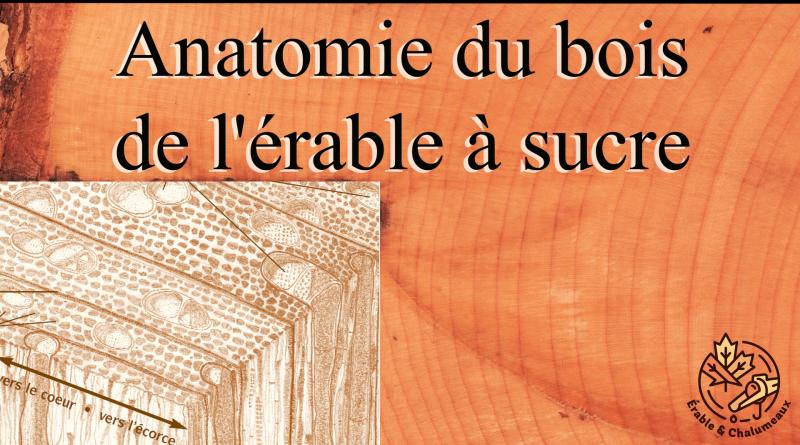 vidéo anatomie bois d'érable